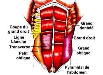 pubalgie et muscles de l'abdomen couche superficielle