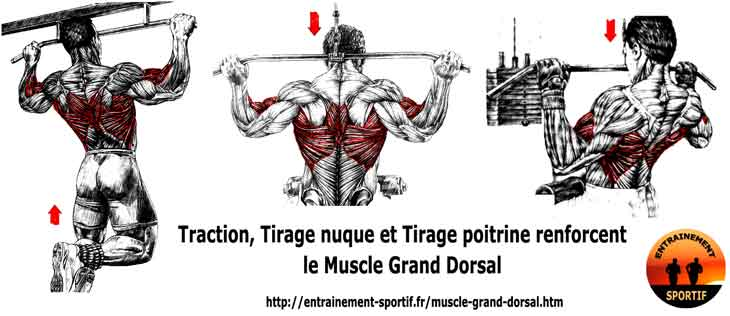 les tractions ou les tirages musclent le grand dorsal