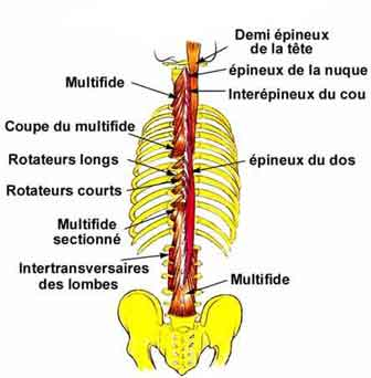 muscles lombaires exercices