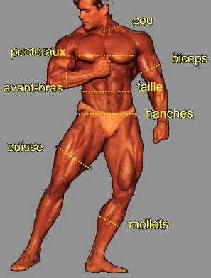 mensurations ideales en musculation