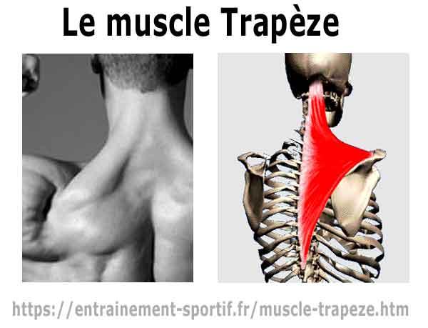 Muscles de l' épaule - Anatomie, fonctions et insertions