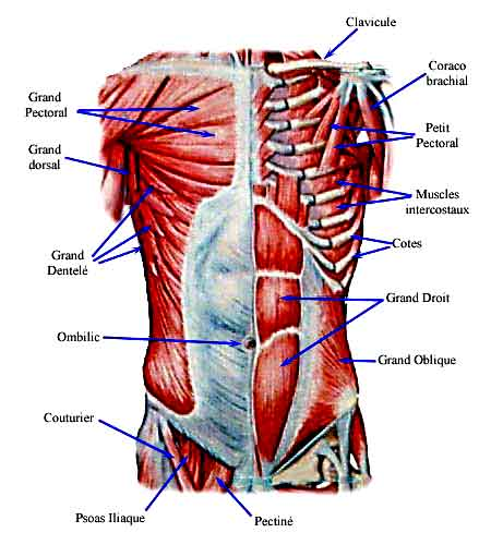 muscles du tronc et du bassin anatomie et fonctions. Black Bedroom Furniture Sets. Home Design Ideas