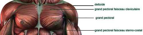 exercice de musculation pour les pectoraux